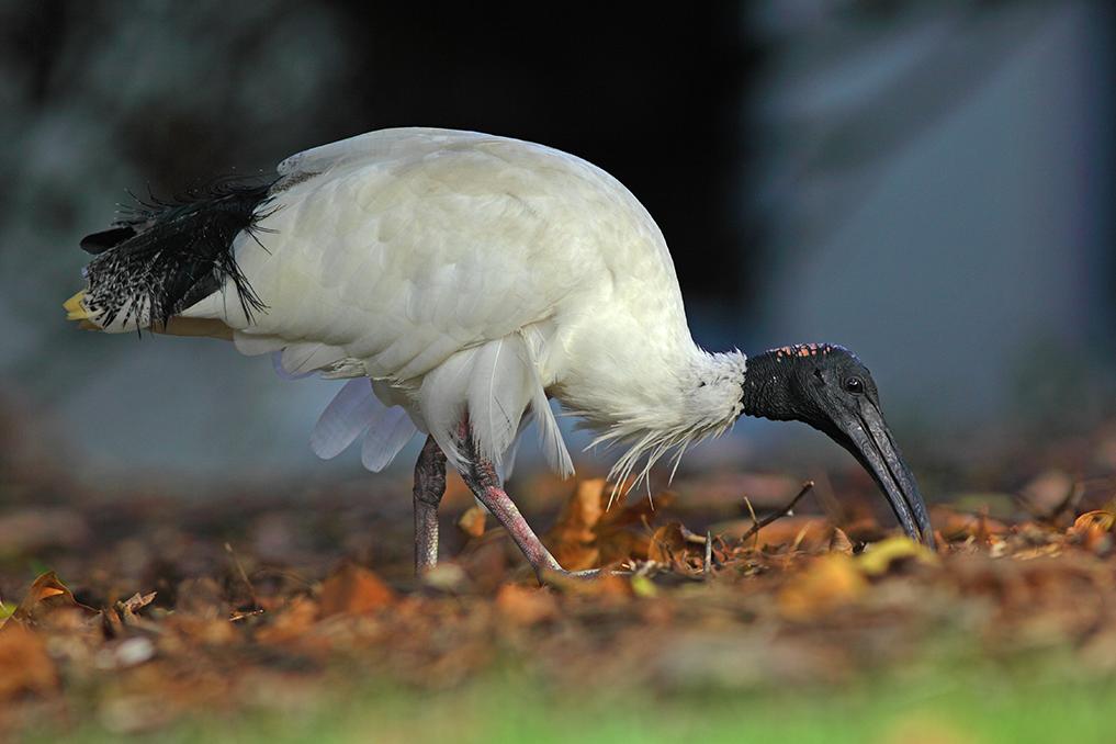 AUSTRALIAN WHITE IBIS • Threskiornis molucca