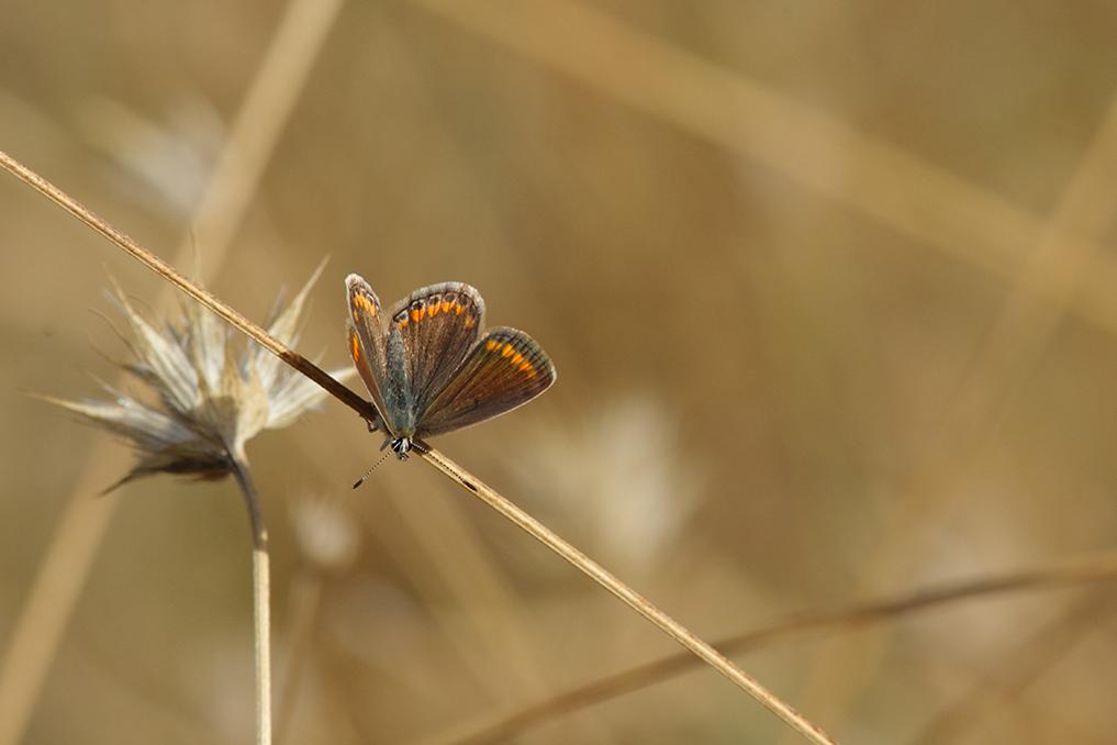 L'AZURÉ COMMUN • Polyommatus icarus
