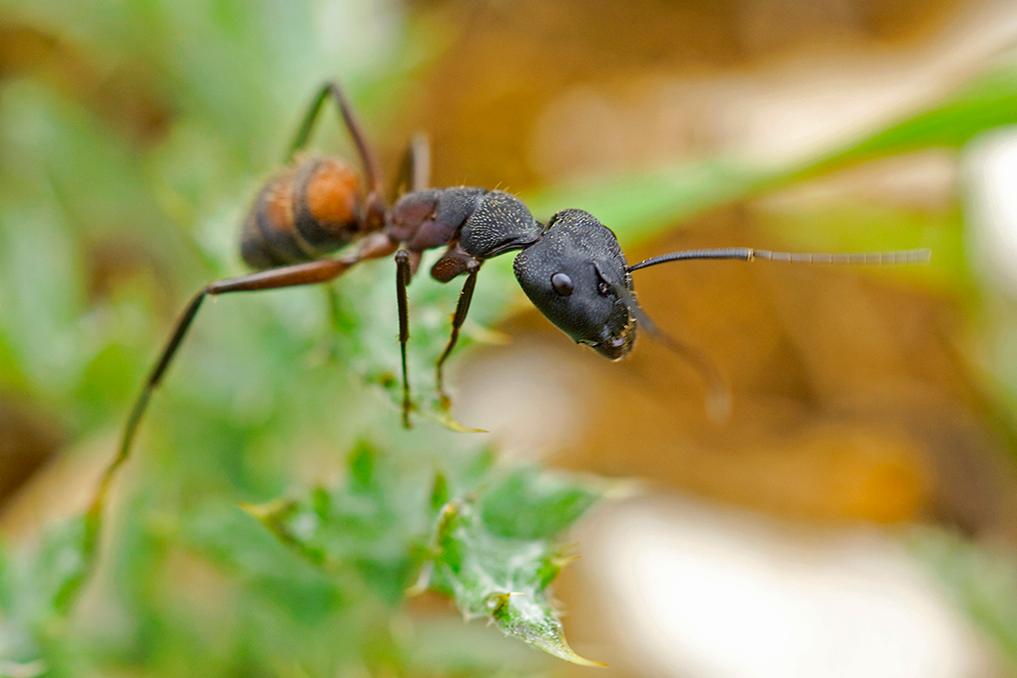 CAMPONOTUS CRUENTATUS • Camponotus cruentatus