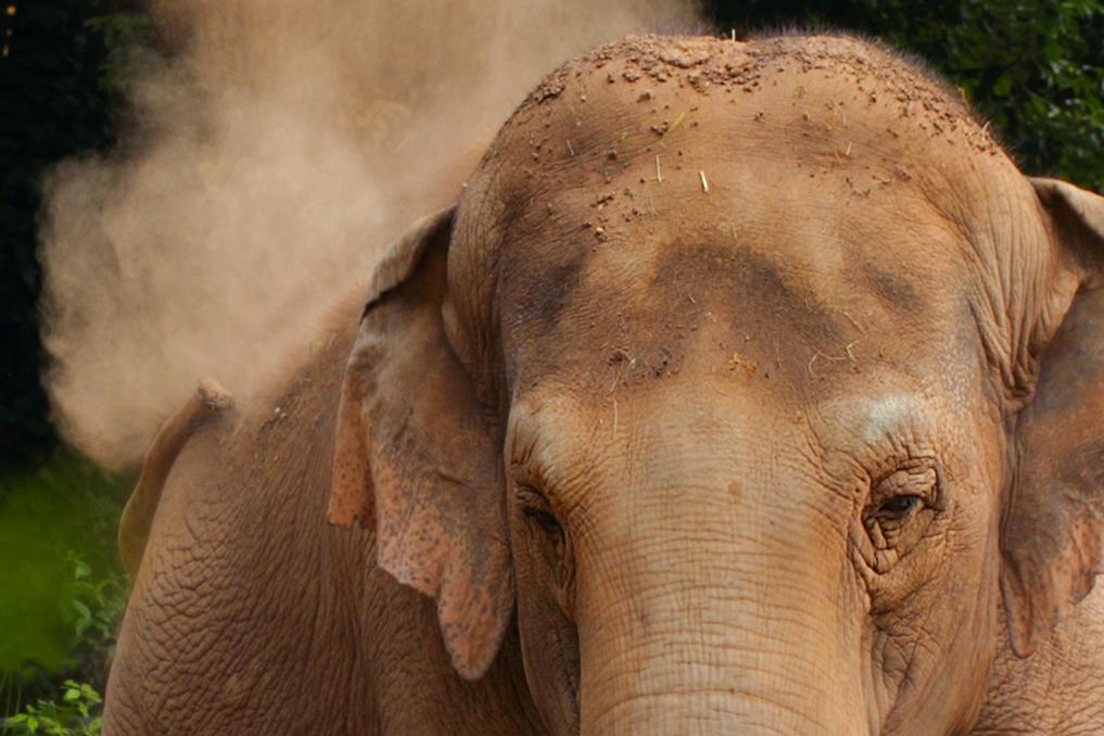 ÉLÉPHANT D'ASIE • Elephas maximus
