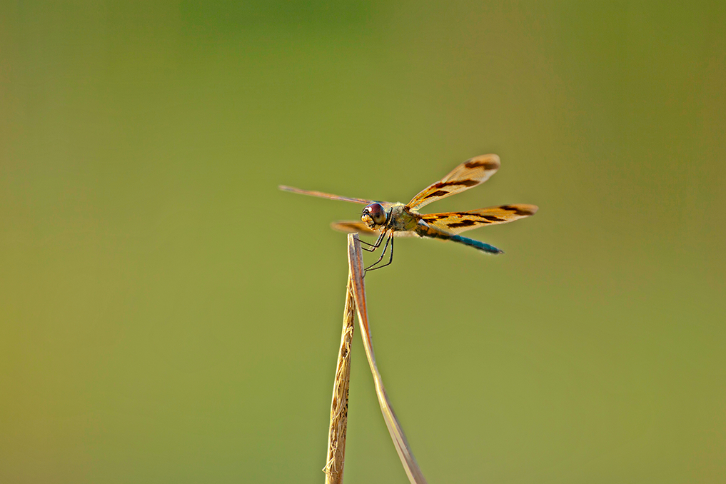 GRAPHIC FLUTTERER • Rhyothemis graphiptera
