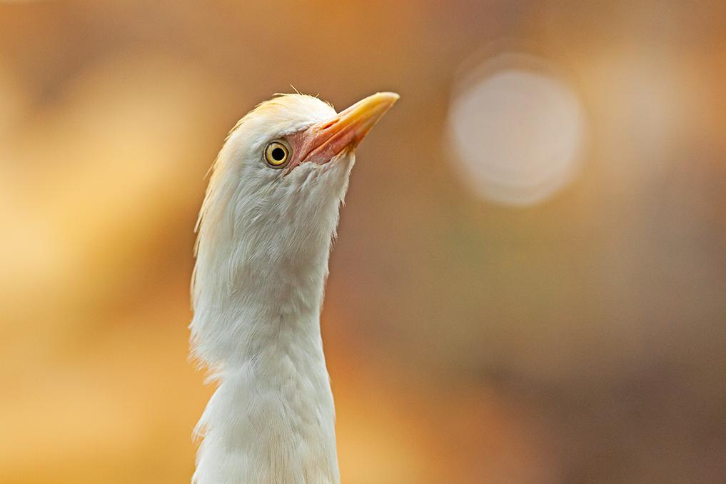 HÉRON GARDE-BOEUF • Bubulcus ibis