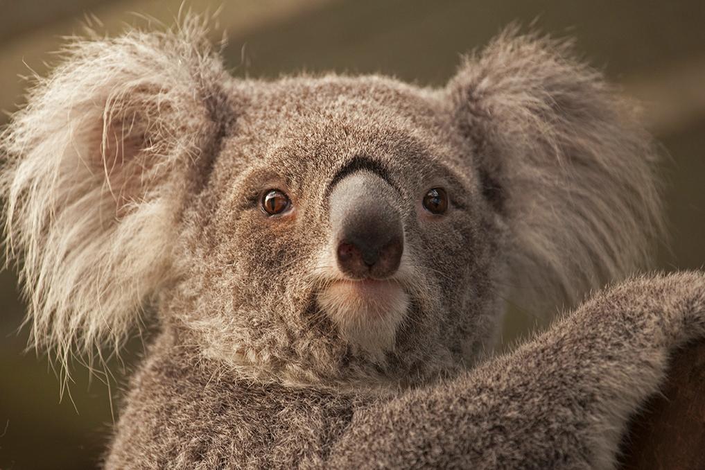 KOALA • Phascolarctos cinereus
