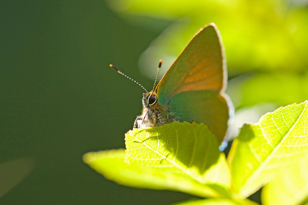 LA THÈCLE DE LA RONCE • Callophrys rubi