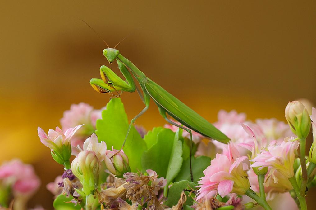 MANTE RELIGIEUSE • Mantis religiosa