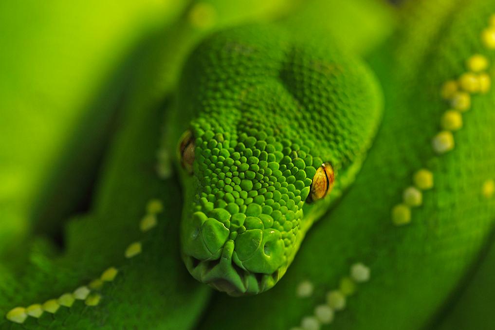 PYTHON VERT • Morela viridis