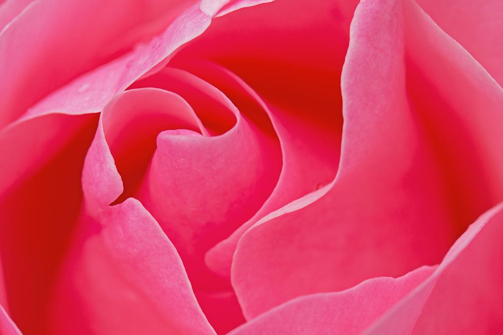 ROSE-À-COEUR ©fredericdorison