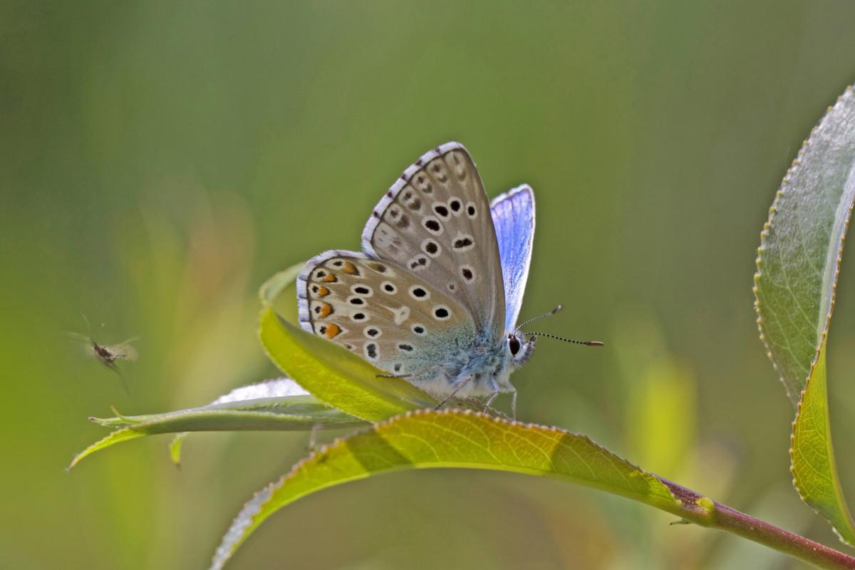 L'ARGUS BLEU CÉLESTE • Polyommatus bellargus