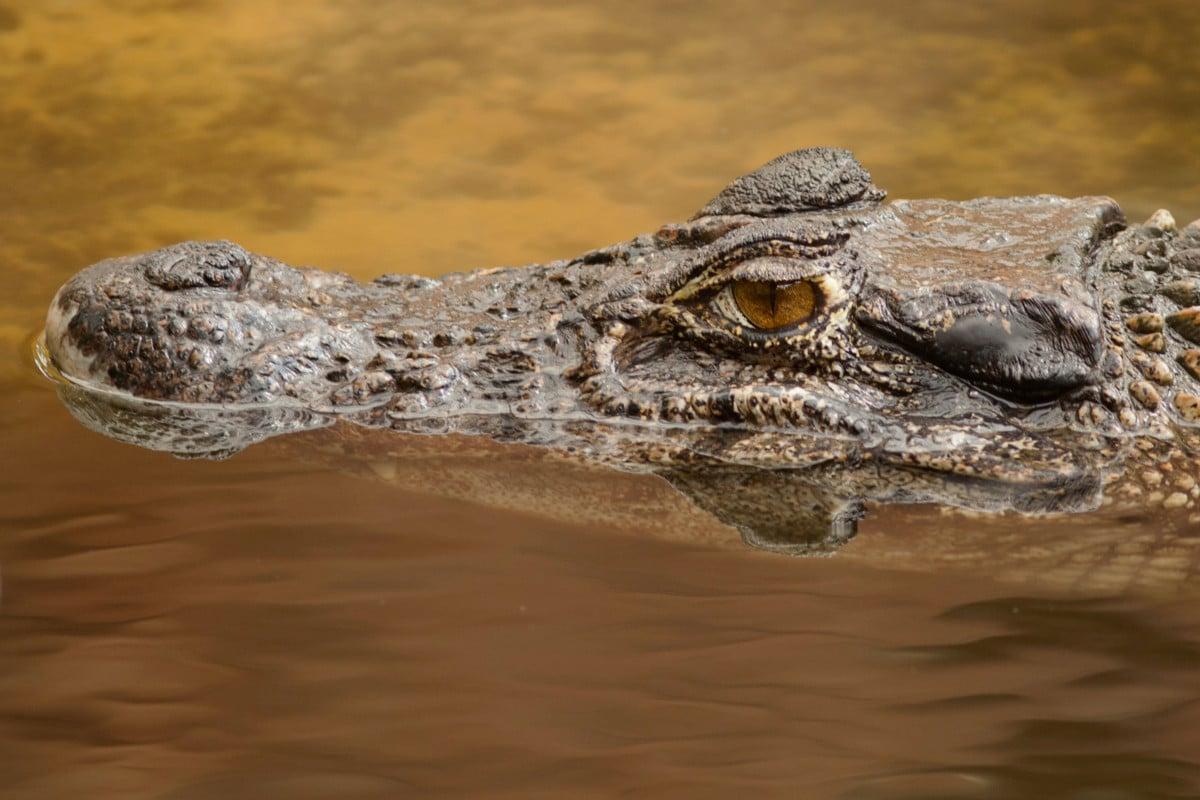 CROCODILE AMÉRICAIN • Crocodylus acutus